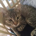 Clapton - Kitten for Adoption