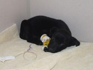 Indigo hospitalized for Parvo