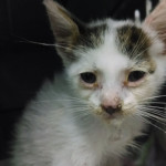 Texas Animal Guardians helped this starved kitten regain his health