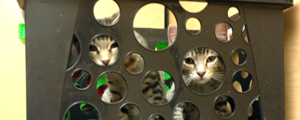 Cat Adoptions are on the Rise!