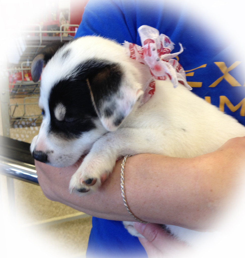 Texas Animal Guardians adoption program has saved 163 lives in 2014, including this little puppy.